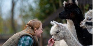 Bauernhofurlaub an der Nordsee: auf Tuchfühlung mit Pferd, Kuh und Alpaka.